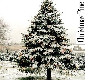 Christmas Pine Fragrance Oil 19917