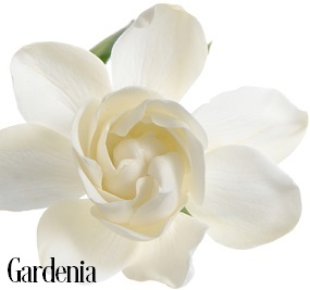 Gardenia Fragrance Oil 20032