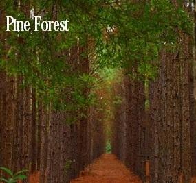 Pine Forest Fragrance Oil 20197