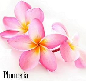 Plumeria Fragrance Oil 20224