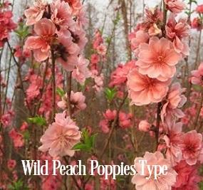 Wild Peach Poppies* Fragrance Oil 20393